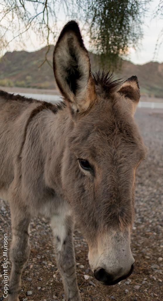 burro-face