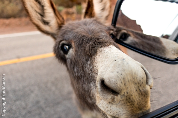burro-hitchhiker