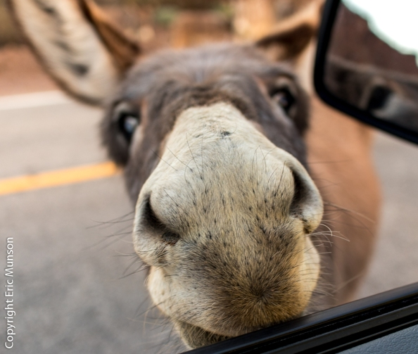 nosey-burro